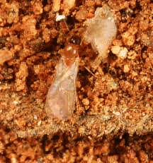 Figure 1. Brachymyrmex sp. alate (winged male) (photo by Hara, A.)